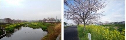 国分川桜エリア