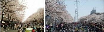六実(むつみ)桜エリア