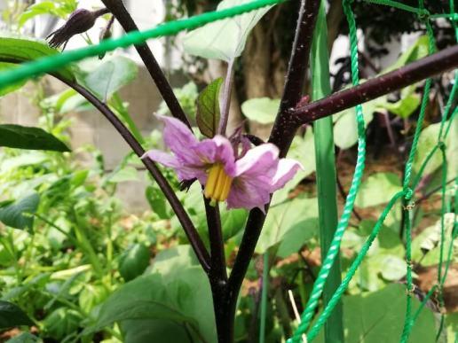 百均農園 - ナスの花