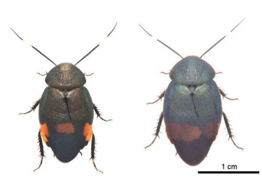 アカボシルリゴキブリ オス(左)   ウスオビルリゴキブリ オス(右)