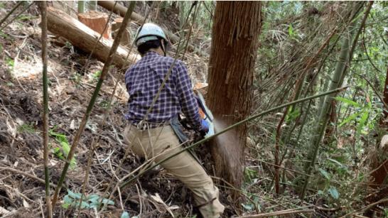 チェーンソーで材木を伐倒する