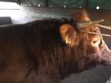 """Krowy nie podróżują w """"byczych"""" warunkach"""