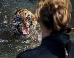 baby-tiger-swim-test-smithsonian-national-zoo