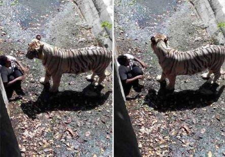 white-tiger-kills-boy-indian-zoo