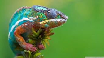 colored-chameleon_00448531