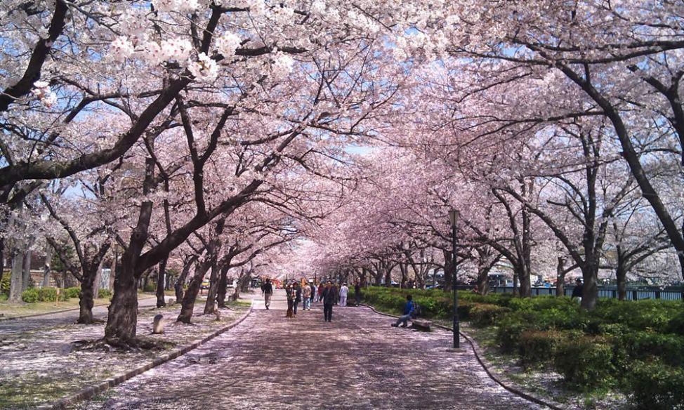 「大阪造幣局の桜」の画像検索結果