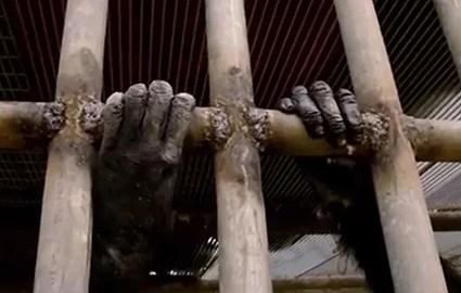 chimpanzés cativeiro