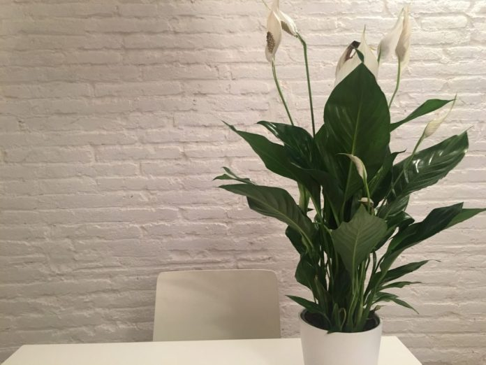 Houseplant the Peace Lily