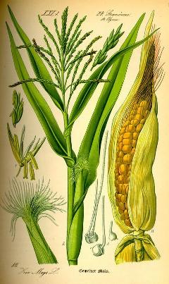 Caj od kukuruzne svile