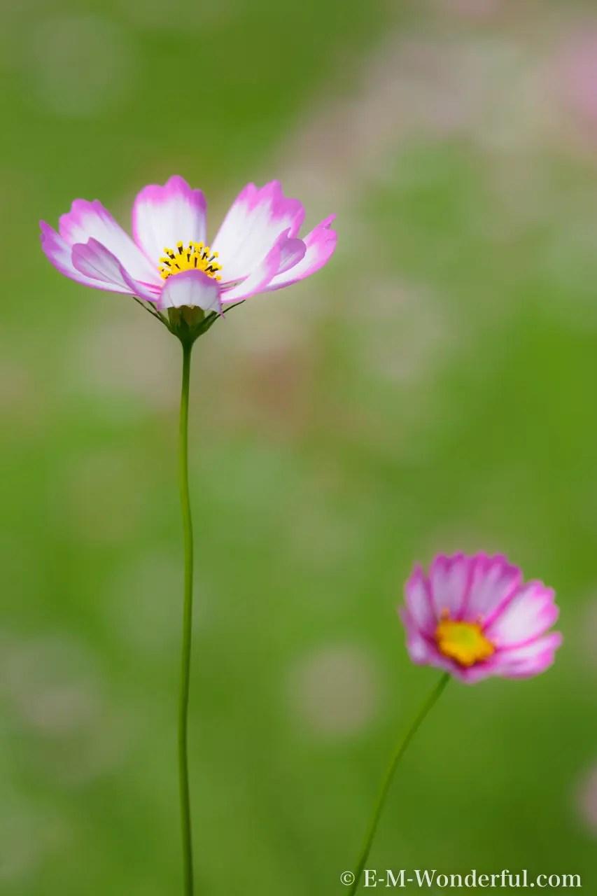 初心者でも簡単,デジイチで秋桜(コスモス)を綺麗に撮る方法 - E-M-Wonderful