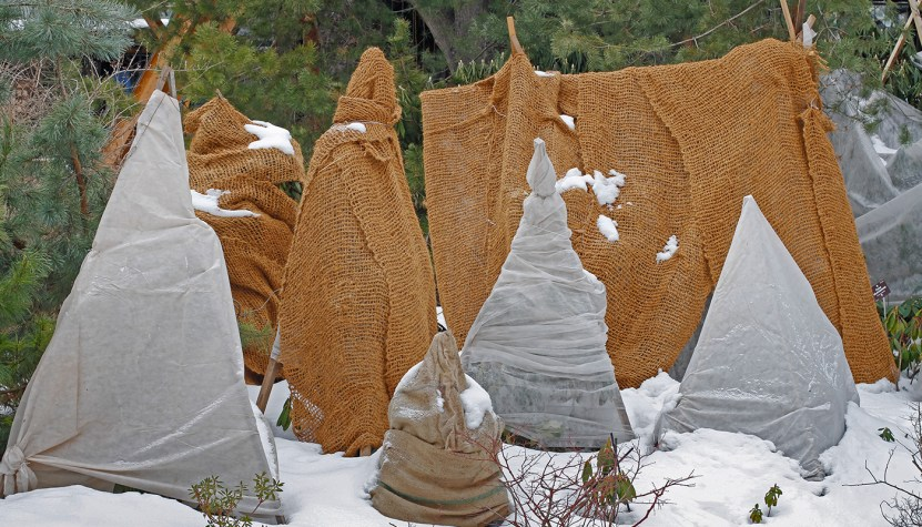 Trees wrapped in cloth during winter.