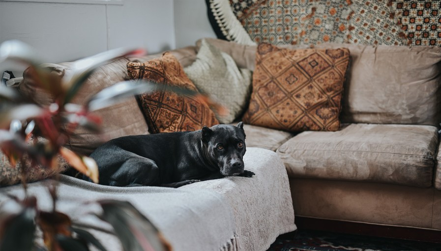 A black dog lying on a couch