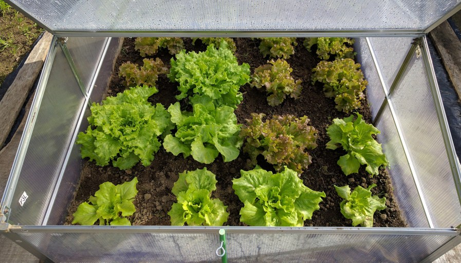 a greenhouse box with rows of lettuce growing inside