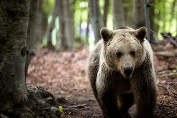 αρκουδα