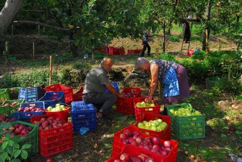 Ολοκληρώθηκε η διαδικασία συγκομιδής των μήλων στις καλλιεργούμενες εκτάσεις της ευρύτερης περιοχής του Κεντρικού Πηλίου