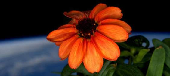 space-first-flower-bloom-nasa-scott-kelly-18_0