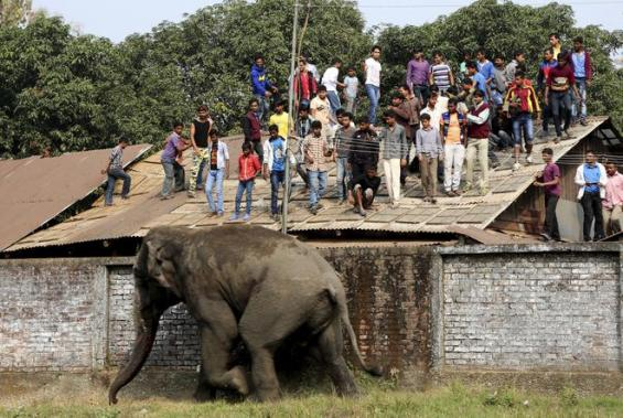 People watch from a rooftop as a wild elephant runs after it was tranquilized in Siliguri