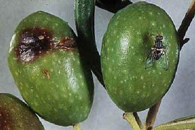 Μικρή παραγωγή και δάκος στα ελαιόδεντρα του Πηλίου –Δύο δακοκτονίες από τον Α.Σ. Πηλίου-Β. Σποράδων