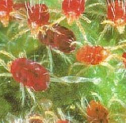 Τετράνυχος πλήττει αμυγδαλιές- καρπούζια στη Μαγνησία - e-thessalia.gr