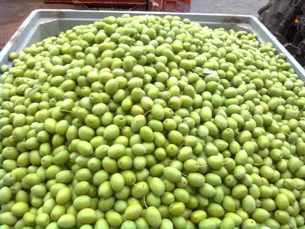 Μεγάλη ζήτηση για πράσινη ελιά Πηλίου – 500 τόνοι παραγγελίες από εμπόρους εξωτερικού