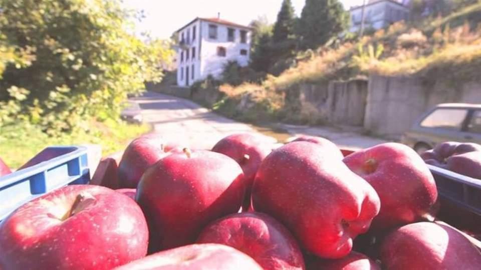 Σε 18 εκατ. κιλά η παραγωγή μήλων φέτος στη Ζαγορά –Στην κορύφωσή της η συγκομιδή