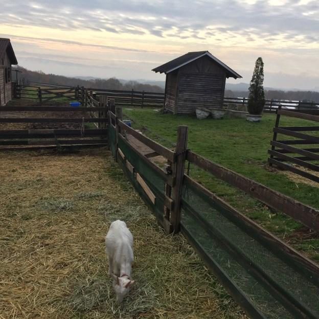牧場のヤギさん