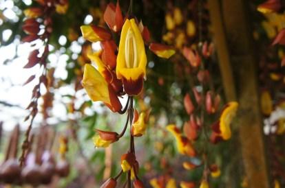 キャメロンハイランドの花