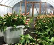 Сортировка луковиц тюльпанов