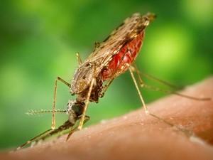 Anopheles albimanus, um mosquito vetor da malária (Foto: James Gathany/CDC)