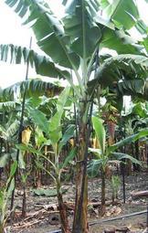 香蕉苗 臺蕉5號 玉山 目前臺灣最新品種 - 露天拍賣