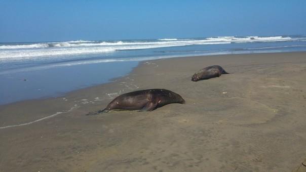 Aparecen lobos marinos y delfines muertos en playa de Lambayeque.