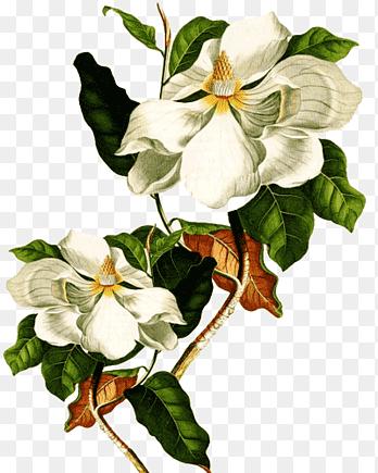 Magnolia Flower Png : magnolia, flower, Flores,, White, Magnolia, Flower,, PNGEgg