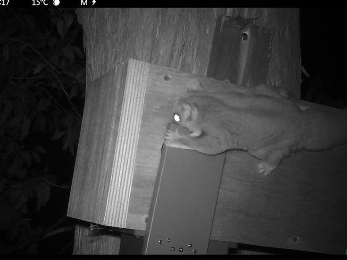 The boxes close at night, ensuring the sugar gliders cannot reach the chicks. Pic: ANU
