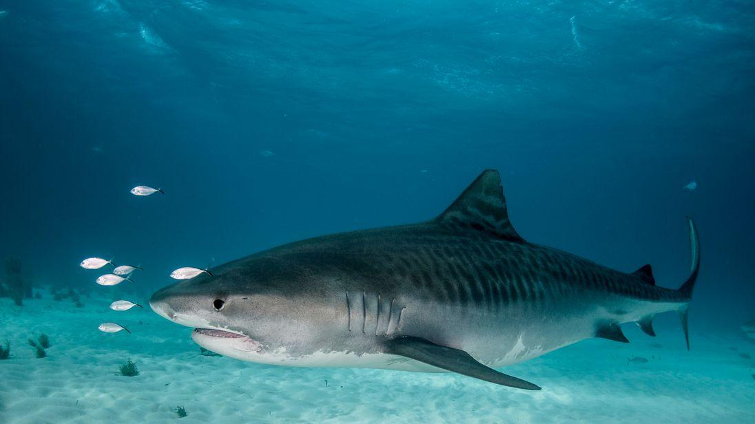 Tiger Shark Kills American Tourist Diving Off Costa Rican