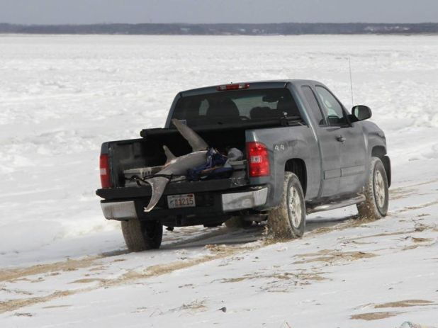 The AWSC had to take the sharks to the NOAA Fisheries Service to thaw out. Pic: AWSC