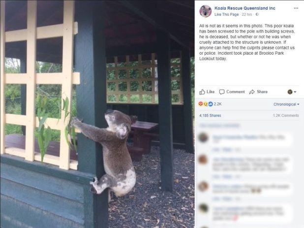 Koala rescue