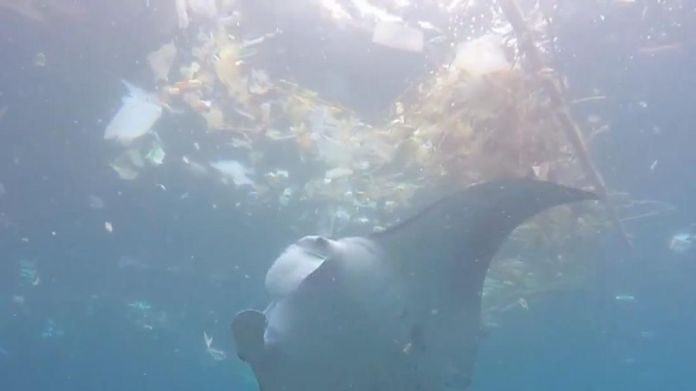 A video shared to Facebook on February 16 shows a manta ray feeding among pieces of trash at Manta Point in Bali.  The video, shared by Australian woman Lauren Jubb, shows the sea creature weaving in and out of plastic bags, wrappers and other pieces of debris in search of food. World's first plastic-free supermarket aisle unveiled World's first plastic-free supermarket aisle unveiled skynews ocean rescue plastic waste 4235698
