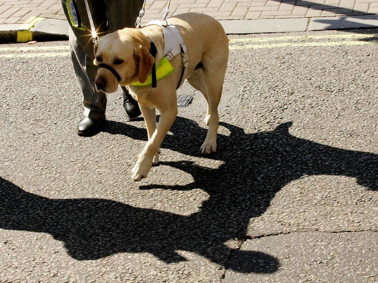 London, UNITED KINGDOM: Guide dog, Vaughn, named as the Guide Dog of the year walks with owner Susan Jones in London, 08 September 2005. Vaughn beat competition from other dogs around the UK in an event organised by the Guide Dogs for the Blind association. The charity recognizes the extra special achievements and contributions that some guide dogs make to their owners' daily lives. AFP PHOTO/ CARL DE SOUZA (Photo credit should read CARL DE SOUZA/AFP/Getty Images)