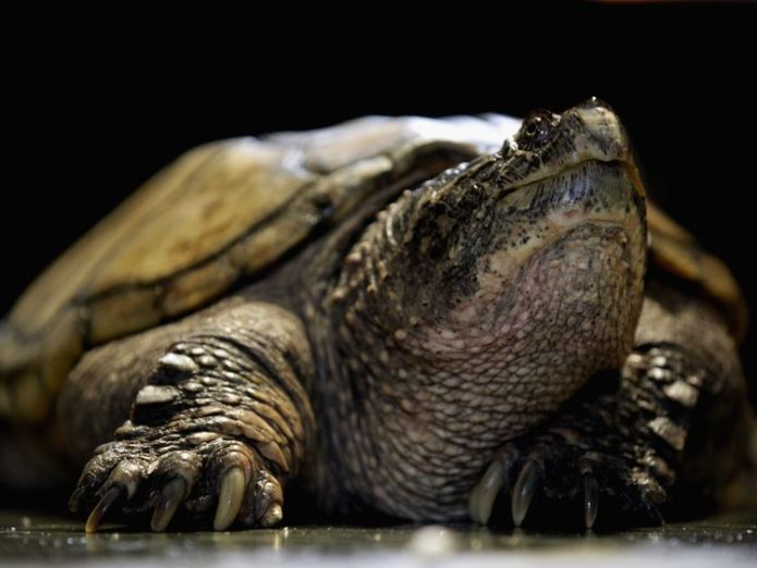 Snapping turtles have powerful beak-like jaws Teacher charged after 'feeding puppy to snapping turtle' in front of students Teacher charged after 'feeding puppy to snapping turtle' in front of students skynews turtle snapping turtle 4327070