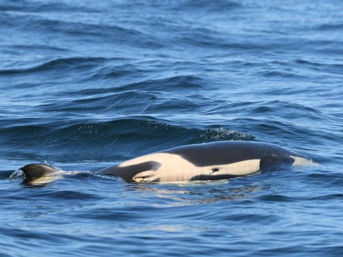 The animal died shortly after it was born. Pic: Dave Ellifrit, Center for Whale Research  Grieving killer whale mother is falling behind family as she carries dead calf skynews whale orca 4377891