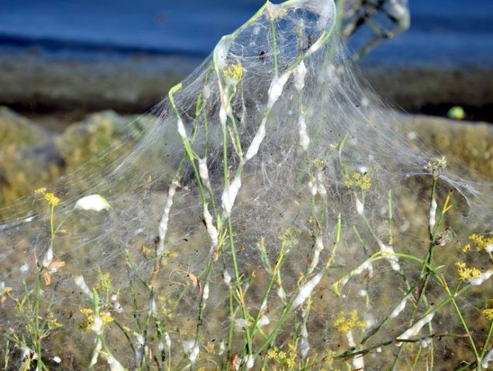 """A molecular biologist has said the spiders will """"have their party and will soon die"""". Pic: Giannis Giannakopoulos    Blanket of spider webs creates stunning scene in Greek town skynews aitoliko greece 4427802"""