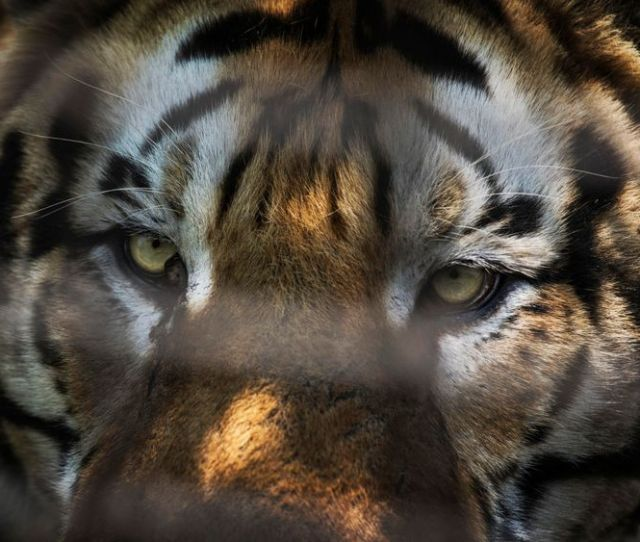 A Siberian Tiger Is Seen At The Heilongjiang Siberian Tiger Park On July 5 2017