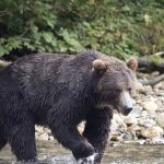 Grizzly bear shot dead after dragging California woman from her tent and killing her in Montana 💥😭😭💥