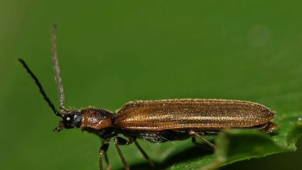 Click beetles can launch themselves into their air. Pic: Sarefo, Wikimedia Commons