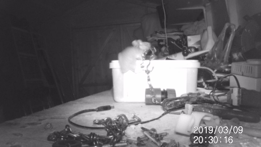 medium resolution of mouse proud rodent seen tidying up tools in garden shed in south gloucestershire