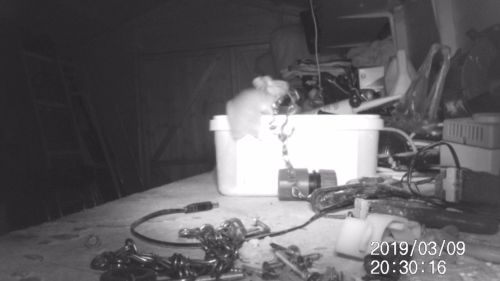 small resolution of mouse proud rodent seen tidying up tools in garden shed in south gloucestershire