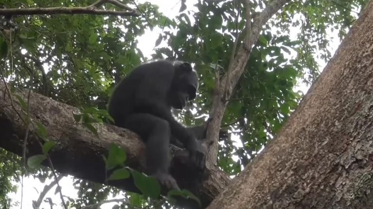 , Lethal chimpanzee attacks on gorillas observed for first time, The Nzuchi Times