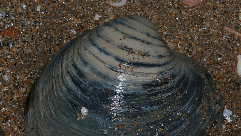 Ocean quahogs are found off the Holderness coast in the East Riding of Yorkshire
