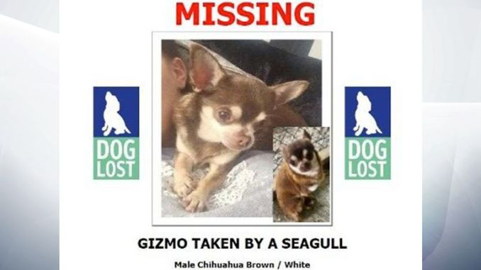 An online appeal has been made to find Gizmo. Pic: doglost.co.uk