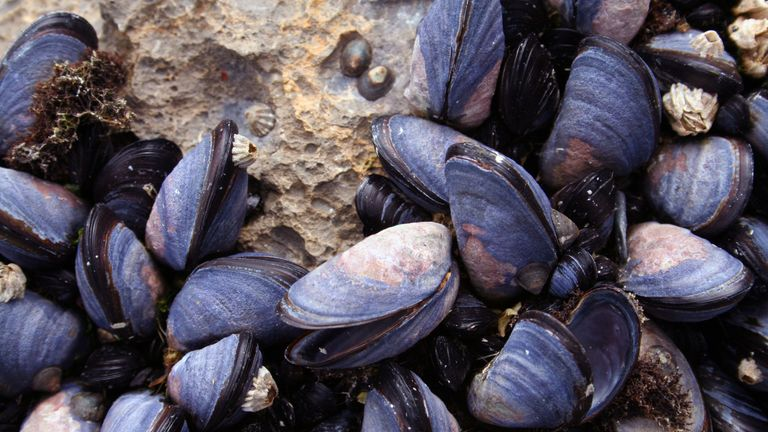Underwater noise could impact the growth of mussels